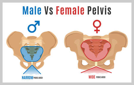Male vs female pelvis. Main differences. Detailed vector illustration isolated on a white background. Medical and anatomical concept.  イラスト・ベクター素材