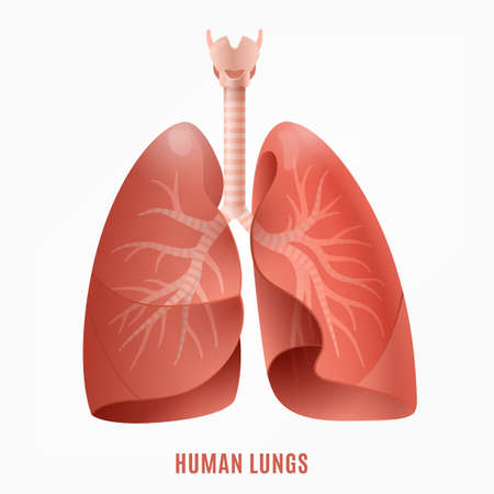 Human lungs image. Isolated vector illustration in pink colours on a white background. 矢量图像