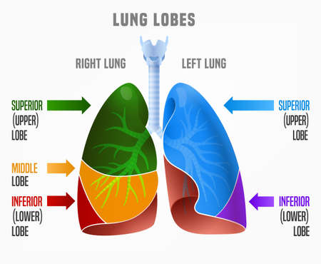 Human Lungs Infographic With Lung Lobes And Their Names. Vector ...