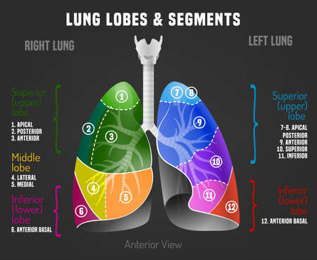Human lungs infographic with lung lobes and segments. Vector illustration isolated on a dark grey background. Medical, educational and healthcare concept.