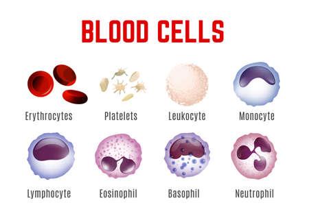 Blood cells types. Editable vector illustration isoated on white background. Erythrocytes, plateletes, leukocytes, lymphocytes, monocytes and more. Educational medical poster in landscape format.