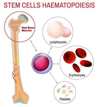 Blood stem cells haematopoiesis. Editable vector illustration isolated on white background. Erythrocytes, plateletes, lymphocytes. Educational medical poster in vertical format. Ilustração
