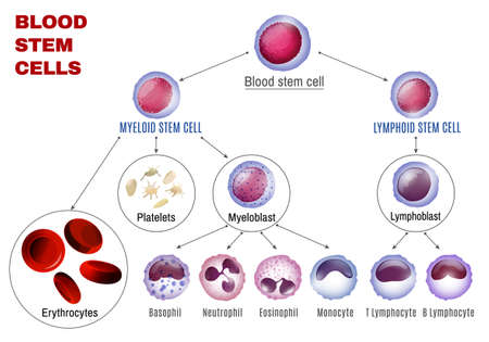 Blood stem cells types. Editable vector illustration isolated on white background. Erythrocytes, plateletes, leukocytes, lymphocytes, monocytes and more. Educational medical poster in landscape format. Illustration