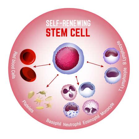 Cellule souche auto-renouvelable. Types de cellules sanguines. Illustration vectorielle modifiable isolée sur fond blanc. Érythrocytes, plaquettes, leucocytes, lymphocytes, monocytes et plus encore. Affiche médicale éducative