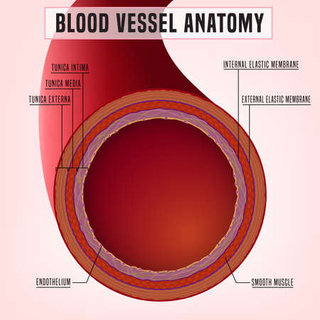 Human blood vessel anatomy. Detailed scheme. Editable vector illustration isolated on a light background. Medial, scientifical, healthcare concept. Graphic design.