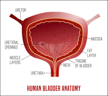 Urinary bladder. Human organ anatomy. Editable vector illustration in realistic style isolated on white background. Medical, healthcare and scientific concept. Educational infographic