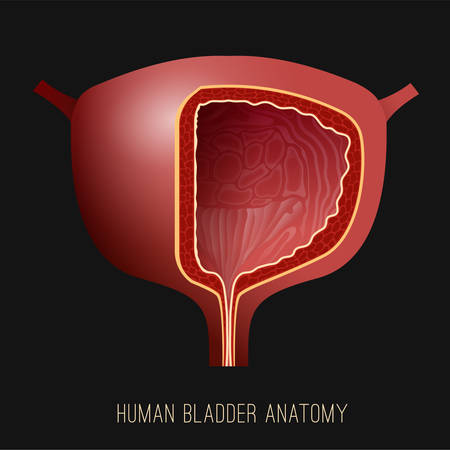 Urinary bladder. Human organ anatomy. Editable vector illustration in realistic style isolated on dark grey background. Medical, healthcare and scientific concept. Educational graphic design