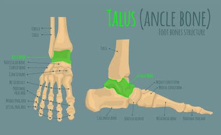 Foot bones anatomy Illustration