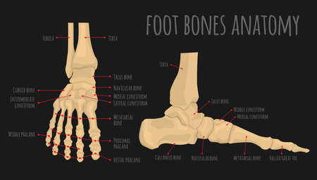 Foot bones anatomy. Human skeleton. Horizontal medical poster. Medical education. Editable vector illustration isolated on darkt background. Graphic design for any purposes 일러스트