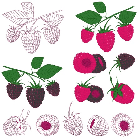 blackberries: Set of colored and hand drawn raspberry and blackberry on the white background. Illustration