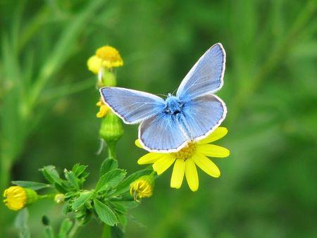 Blue butterfly, zittend op een gele bloem