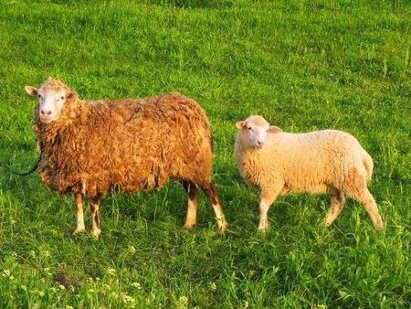 Two sheep on a background of green grass