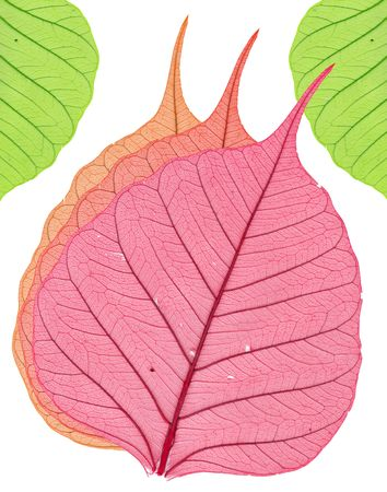 Three red and two green leaves on a white background Stock Photo