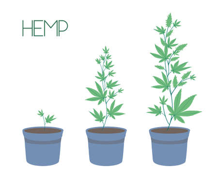 Growing cannabis indoors. Stages of marijuana growth: green bushes in pots, from a small sprout to ripening buds.. SoG hemp cultivation technique. Stylish vector illustration in a flat style.