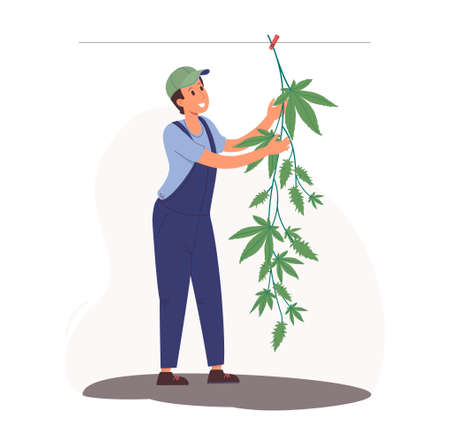 Drying hemp in the open air on a rope. Worker in overalls hangs a bush of marijuana. Stylish illustration in cartoon flat style. Vetores