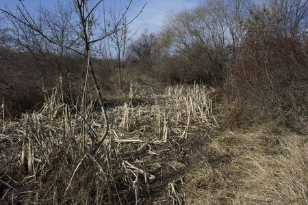 cane creek: dry creek covered with stalks of reeds