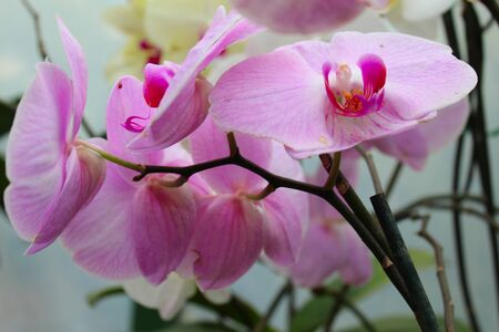 Traditional pink-colored orchid with its green leaves in its natural habitat