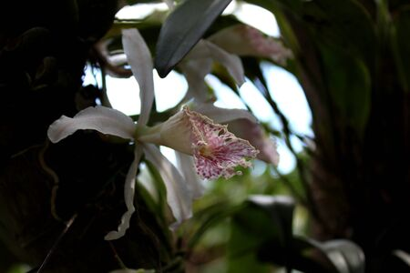 mini lilac and white orchid with its green leaves in its natural habitat Фото со стока