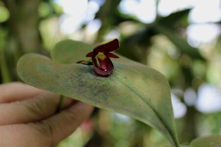 mini orchid dark red colors with their green leaves in their natural habitat