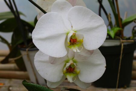 Traditional white and pink orchid with its green leaves in its natural habitat