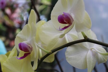 Traditional white and purple colors orchid with its green leaves in its natural habitat