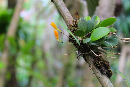mini red and orange orchid with its green leaves in its natural habitat