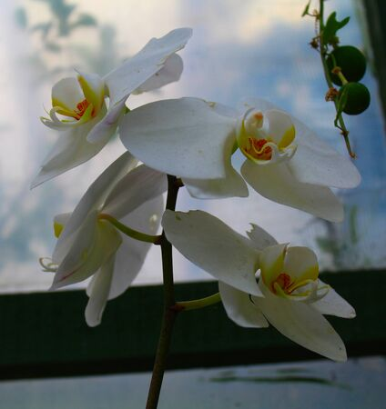 Traditional white and yellow colors orchid with its green leaves in its natural habitat