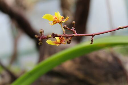 mini orchid yellow colors with their green leaves in their natural habitat