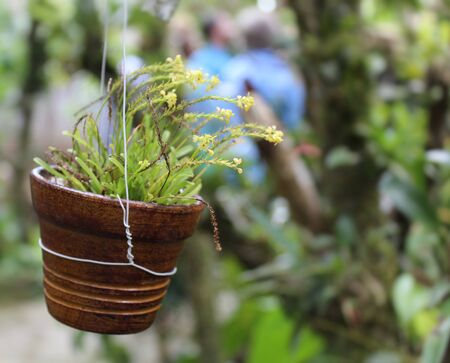 brown pot with mini orchid implantation with yellow colors 写真素材