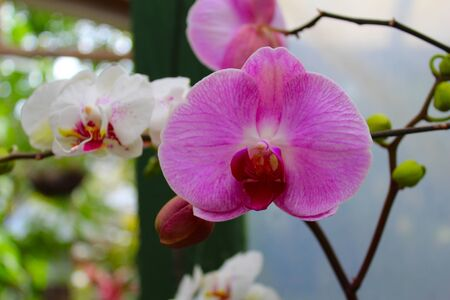 Traditional orchid red and pink colors with their green leaves in their natural habitat Фото со стока