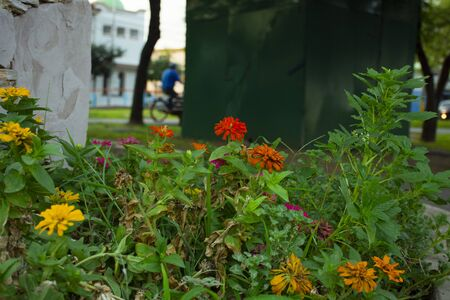 Typical Mexican flowers sown along urban parks Banque d'images