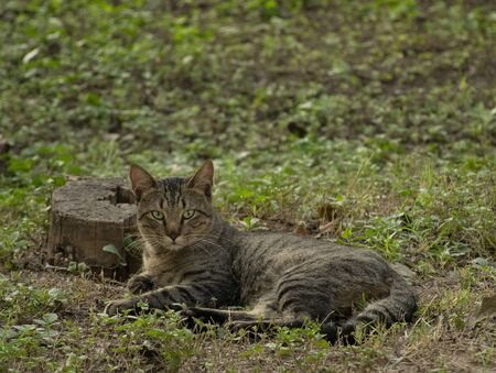 traditional latin american cat resting on the grass