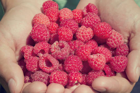 Hands holding fresh red raspberries  Hands holding a handful of fresh raspberries  Toned image photo