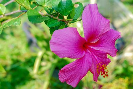 Red Chinese Hibiscus, China rose, Hawaiian hibiscus flower