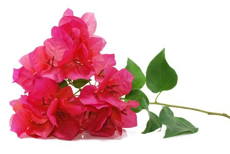 Bougainvillea flower, Red flowers isolated on white background 스톡 콘텐츠