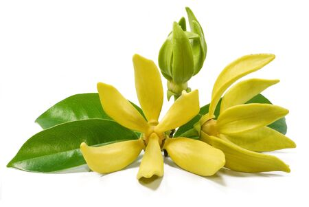 Yellow flower, Magnolia champaca flower isolated on white background Stock Photo