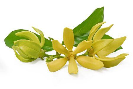 Yellow flower, Magnolia champaca flower isolated on white background