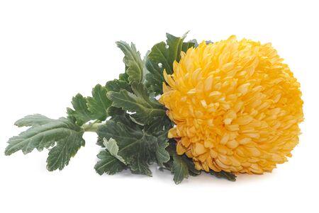 Chrysanthemum flower isolated on white background Stockfoto
