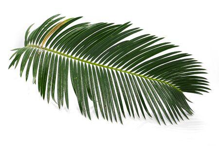 Feuille de palmier tropical isolé sur fond blanc Banque d'images