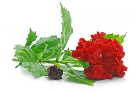 Red Hibiscus flower isolated on white background Banco de Imagens
