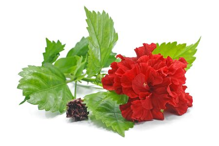 Red Hibiscus flower isolated on white background Stockfoto