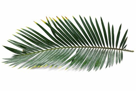 Tropical palm leaf isolated on white background Фото со стока