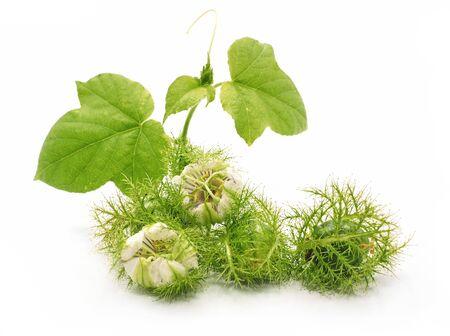 Fetid passionflower fruits isolated on white background