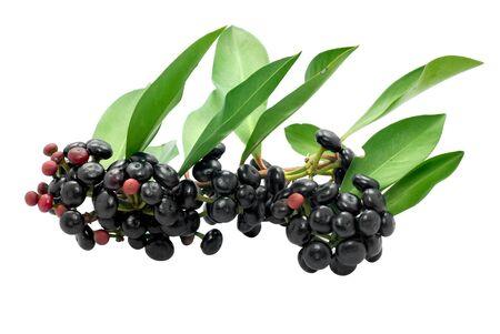 Jambolan plum or java plum isolated on white background Stockfoto