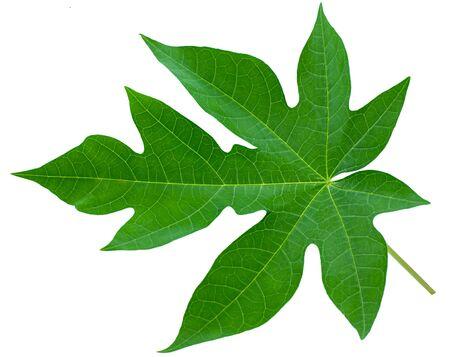 Papaya leaf isolated on white background 写真素材