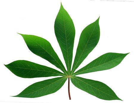 Feuille de manioc isolé sur fond blanc