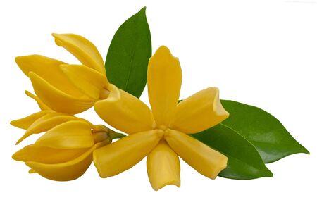 Magnolia champaca flower isolated on white background Stock Photo
