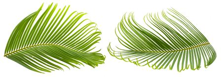 Tropical palm leaf isolated on white background Banco de Imagens