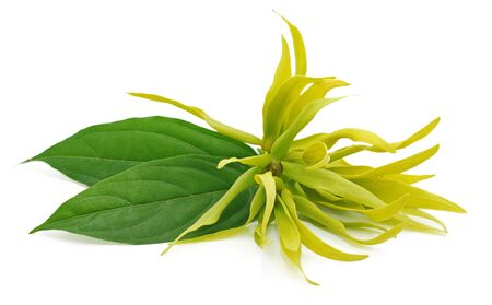 Ylang-ylang flower isolated on white background