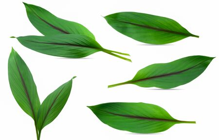 Turmeric leaves isolated on white background